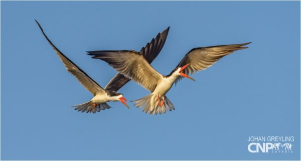 African Skimmers playing