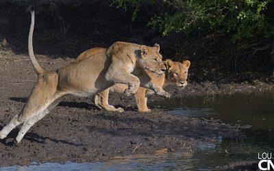 Lion Series 1: A Super Mom – Grumeti 30 Sept to 4 Oct