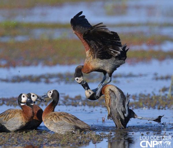 Fighting White-faced ducks