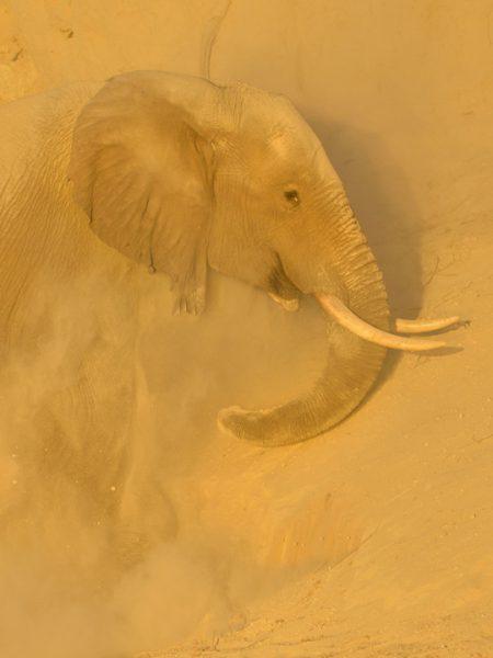 Chobe Safari Elephants