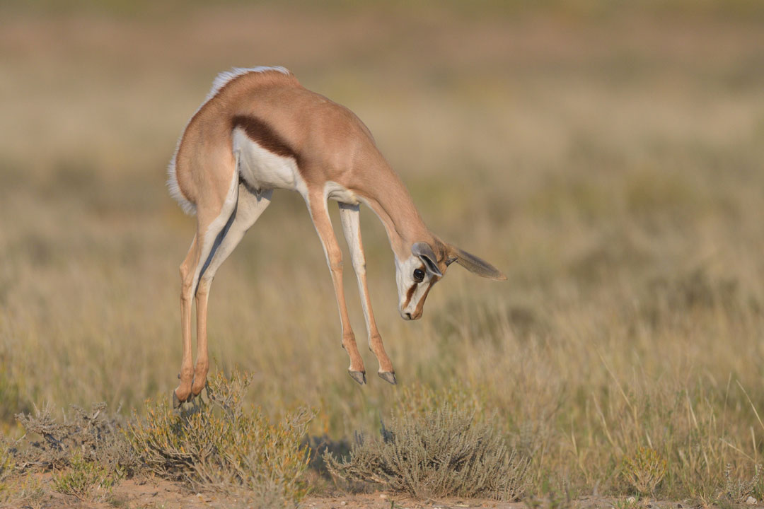 Kgalagadi-24th-Apr-1st-May-2017_02967