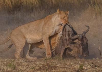 Masai-Mara-19th-Aug--10th-Sept-2016_08859-Edit