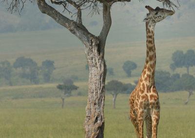 Masai-Mara-3-13-Jan_2015_02720