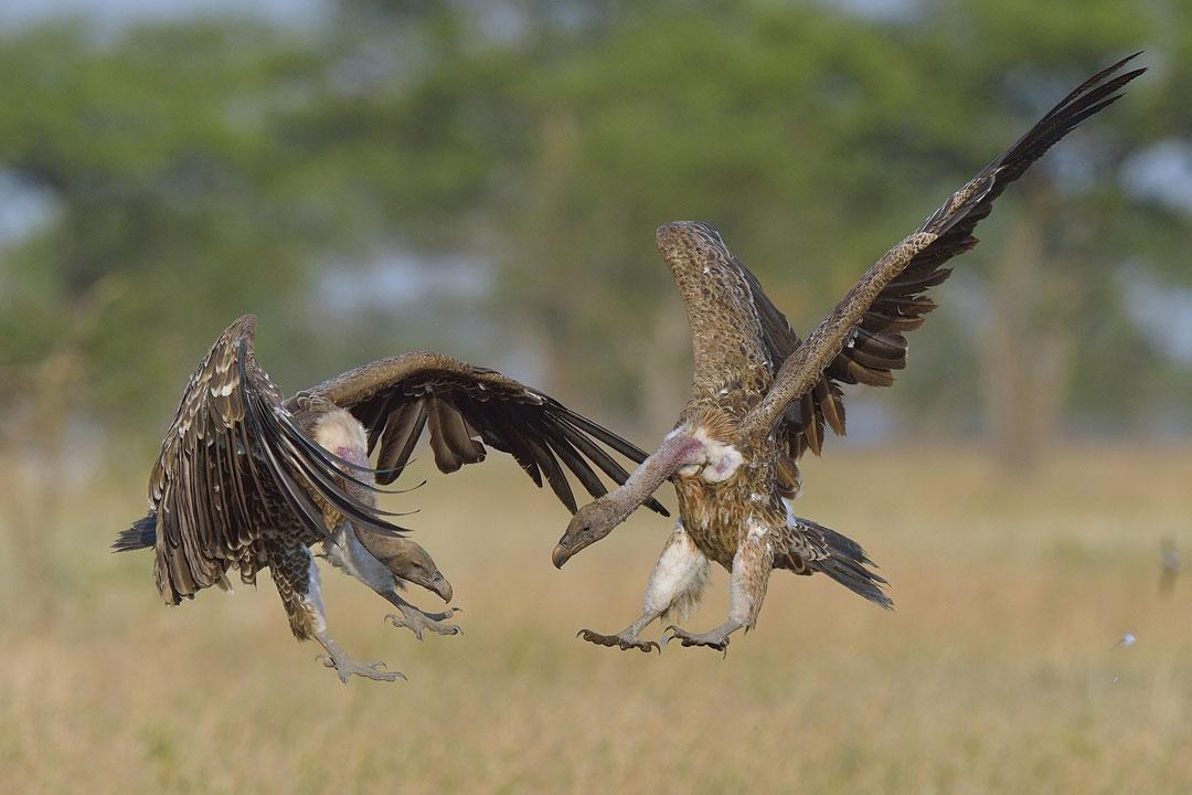 Serengeti-6-17-March_2015_02348