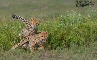 Cheetahs of Ndutu