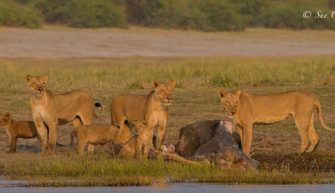 """Chobe MAGIC"" with CNP Safaris"