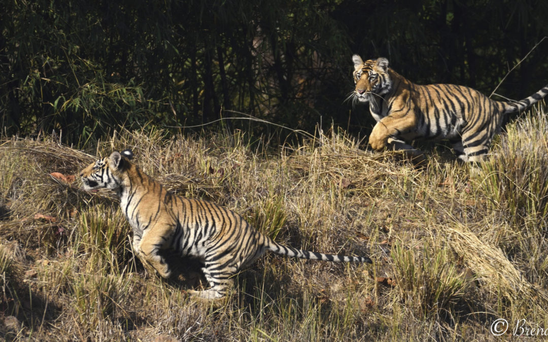 CNP on Safari Photographing the Tigers of Bandhavgarh