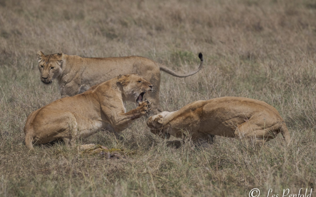 Predator Season in the Masai Mara