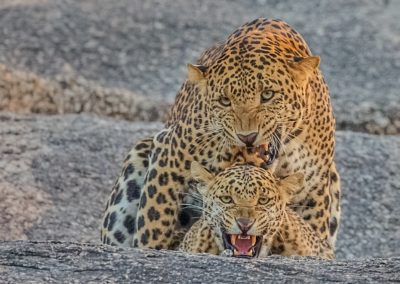 CNP-Leopards&Shepherds-India00004