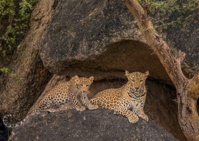 CNP-Leopards&Shepherds-India00008