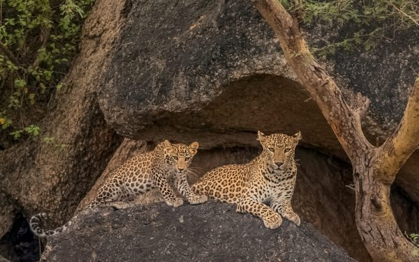 Leopards and Shepherds, CNP Safaris