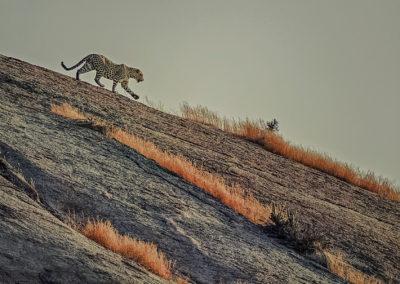 CNP-Leopards&Shepherds-India00010